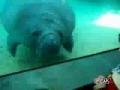 Manatee Busts Face on Glass