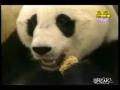 Little Panda Sneezes