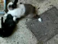 Cat attacks a rabbit. Rabbit has the last laugh