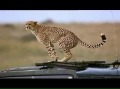 Cheetah drops a surprise in a Land Rover