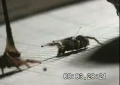 Jumping spiders get it on