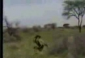 Lion Goes After Hunter With Crazy Results