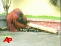 Animals gone wild: Orangutan goes ape sh#@$