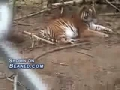 Sneaky tiger sneak attacks the camera man