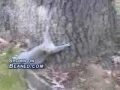 Drunk Squirrel tries to climb tree