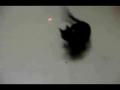 Cat cashing lazer pen