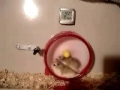Hamster is a little too fast for his own good