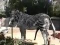 Zebra's fifth leg