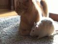 [ Clip ] Rat loves cat