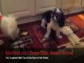 Old Shih Tzu Battles Golden Retriever Puppy